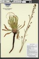 Eriogonum alatum image