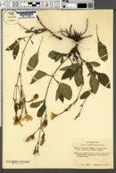 Image of Ruellia occidentalis