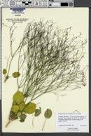 Eriogonum gordonii image