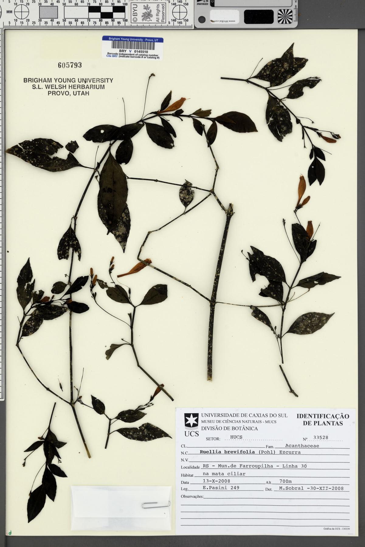 Ruellia brevifolia image
