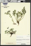 Image of Astragalus amnis-amissi
