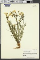 Amsonia longiflora image
