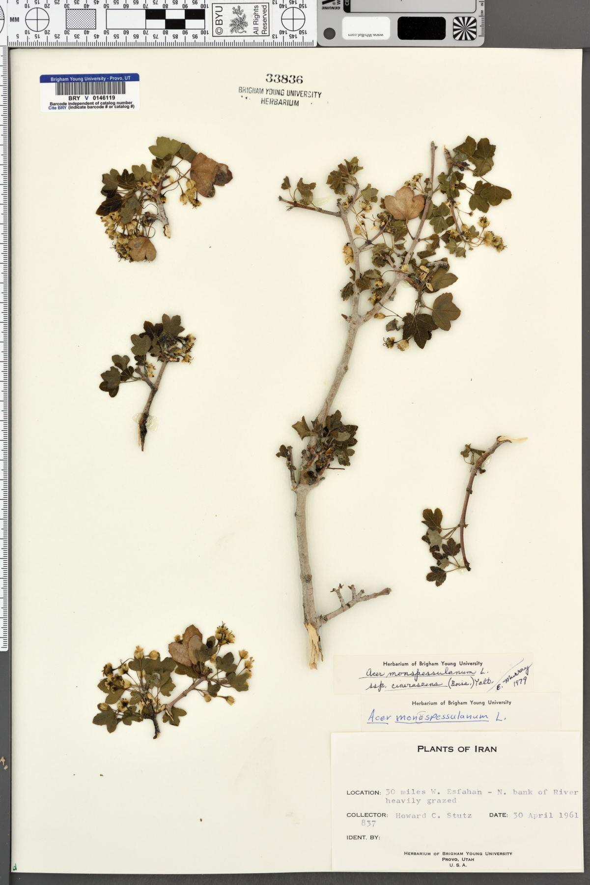 Acer monspessulanum subsp. cinerascens image