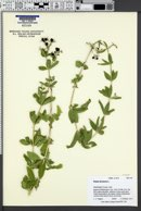 Image of Rubia tinctorum