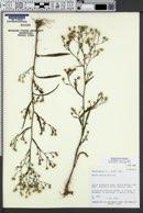 Symphyotrichum subulatum var. parviflorum image
