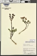 Cymopterus rosei image