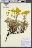 Eriogonum umbellatum var. ellipticum image