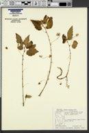 Image of Begonia humilis