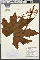 Image of Begonia heracleifolia