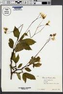 Begonia decandra image