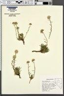 Image of Gilia crebrifolia