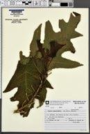 Image of Carica quercifolia