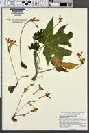 Vasconcellea cauliflora image