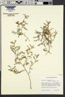 Astragalus alvordensis image