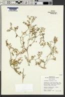 Image of Astragalus alvordensis