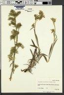 Cryptantha confertiflora image