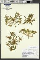 Image of Eremothera nevadensis