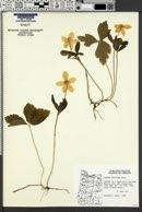 Anemone deltoidea image