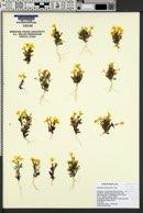 Erythranthe carsonensis image