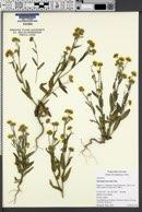 Monolopia lanceolata image