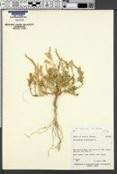 Amaranthus lepturus image
