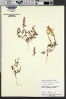 Image of Amaranthus lepturus