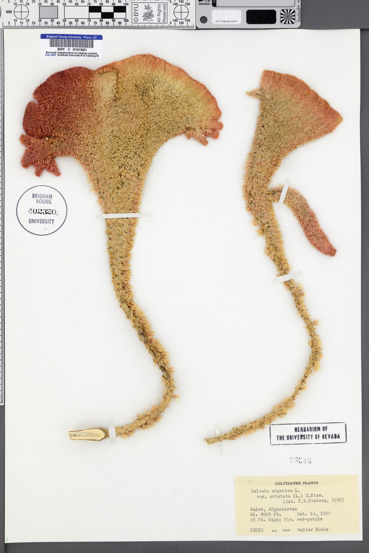 Celosia argentea var. cristata image