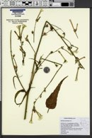Image of Nicotiana acuminata