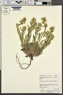 Cryptantha flavoculata image