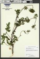 Yabea microcarpa image