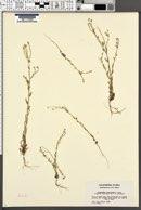 Cryptantha microstachys image