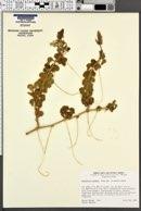 Passiflora palmeri image
