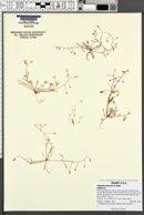 Image of Claytonia arenicola
