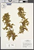 Berberis harrisoniana image