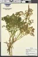 Lomatium grayi image