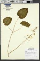 Epimedium pinnatum image