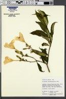 Image of Allamanda oenotherifolia