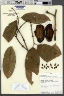 Image of Ambelania occidentalis
