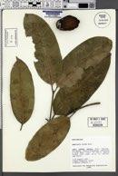 Image of Ambelania acida