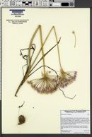 Allium praecox image