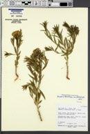 Amsonia tomentosa var. stenophylla image