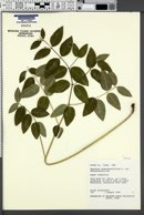 Apocynum androsaemifolium var. androsaemifolium image