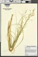 Image of Panicum urvilleanum