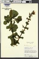 Erythranthe cordata image