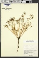 Portulaca suffrutescens image