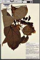 Image of Callichlamys latifolia