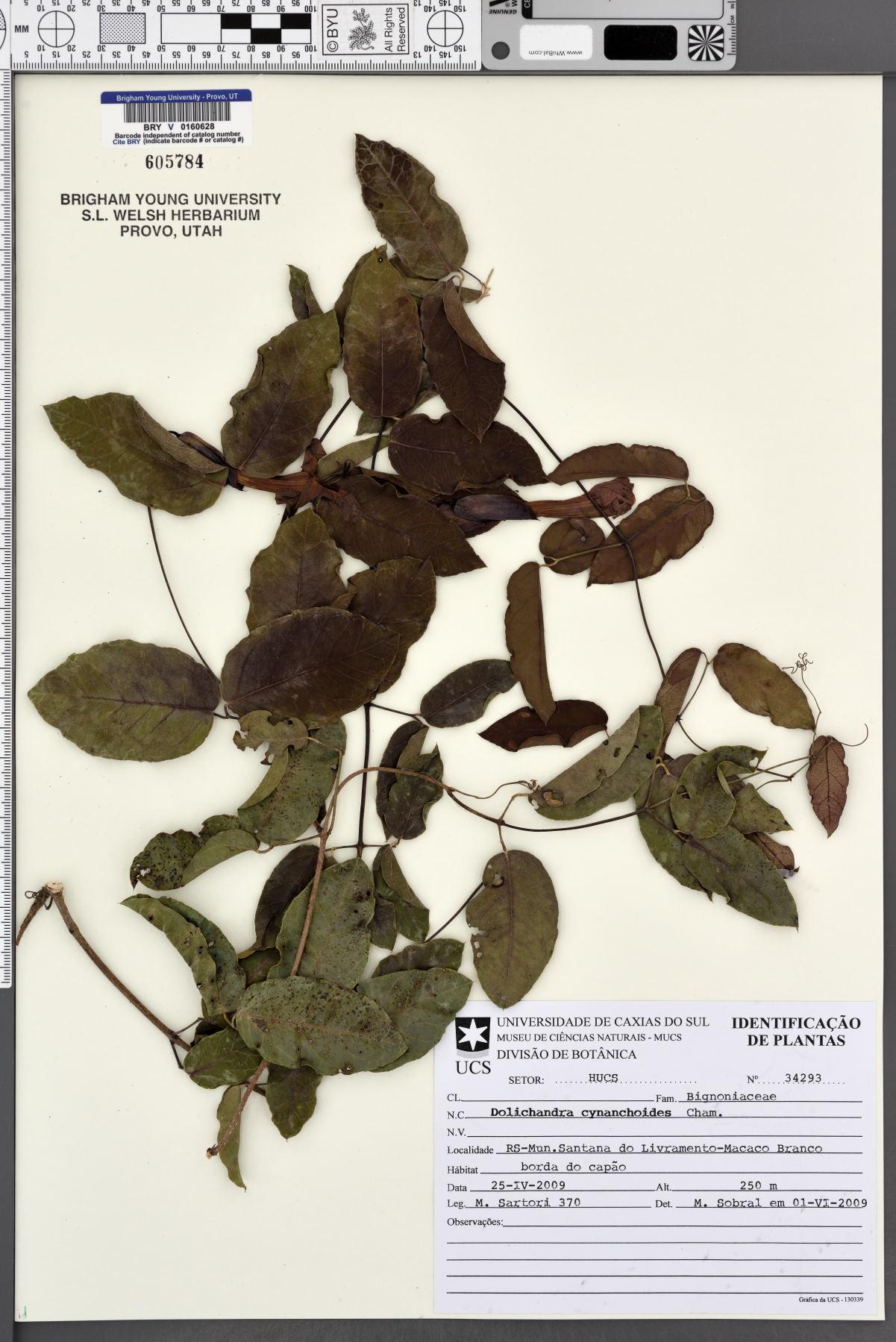 Dolichandra cynanchoides image
