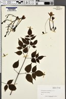 Image of Millingtonia hortensis