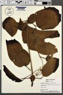 Image of Mussatia hyacinthina