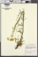 Hymenoxys lemmonii image